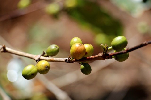 coffeecherries