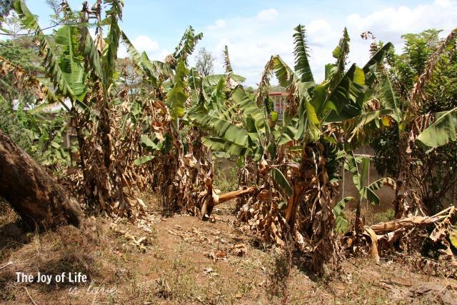 banana-grove