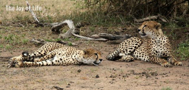 cheetahs-in-tarangire