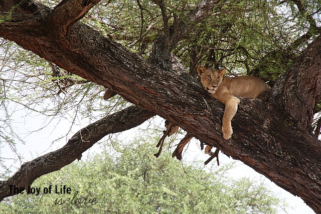 lion-in-tree-tarangire